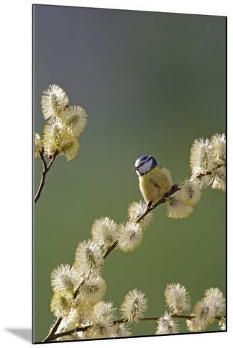 Blue Tit on Pussy Willow--Mounted Photographic Print