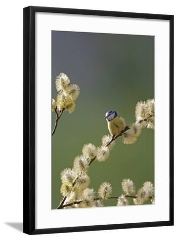 Blue Tit on Pussy Willow--Framed Art Print