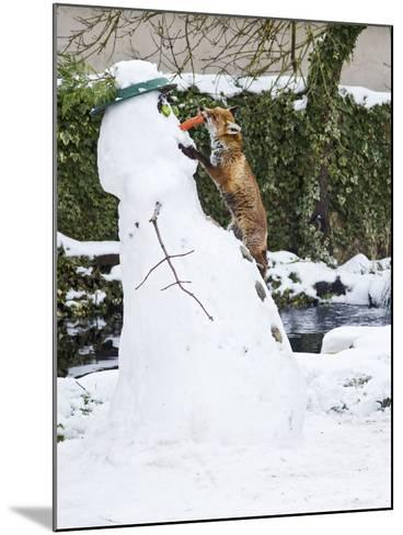 Red Fox Stealing Snowman's Nose in Winter Snow--Mounted Photographic Print