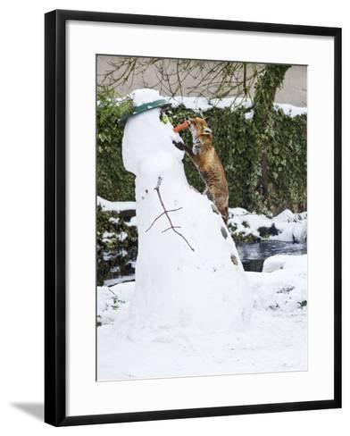 Red Fox Stealing Snowman's Nose in Winter Snow--Framed Art Print