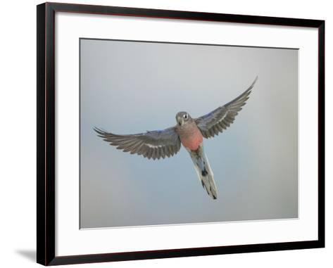 Bourkes Parakeet Male in Flight Front View--Framed Art Print