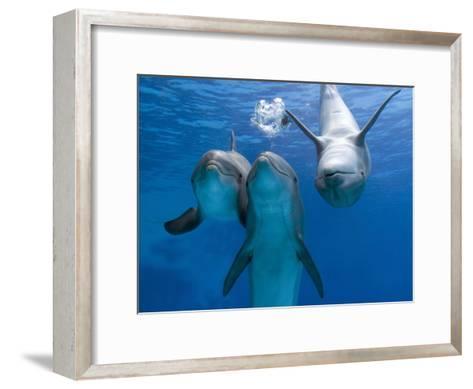 Bottlenose Dolphins, Three Playing Underwater-Augusto Leandro Stanzani-Framed Art Print
