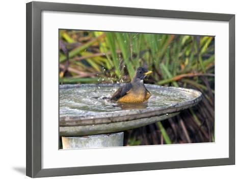 Olive Thrush Bathing in Birdbath-Alan J. S. Weaving-Framed Art Print