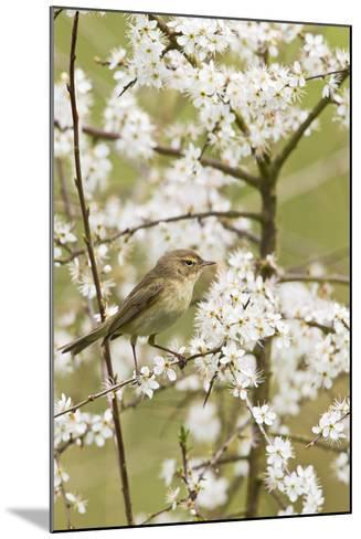 Chiffchaff on Blackthorn Blossom--Mounted Photographic Print