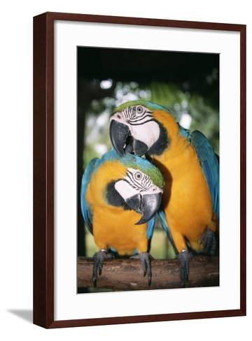 Blue and Yellow Macaws-Andrey Zvoznikov-Framed Art Print