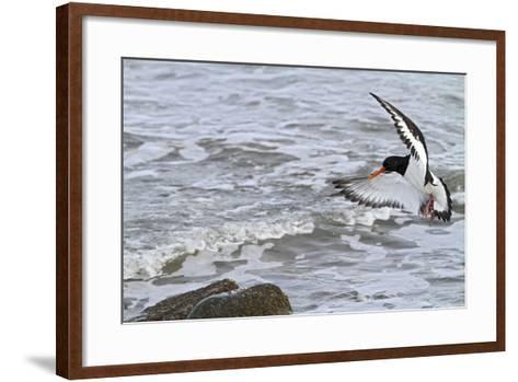 Oystercatcher Landing on Rock--Framed Art Print