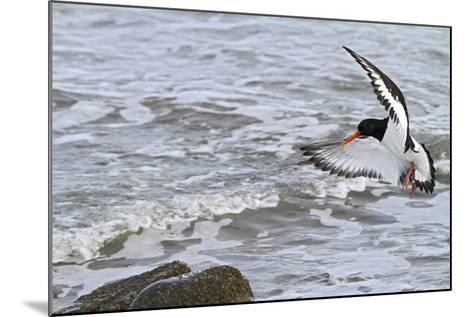 Oystercatcher Landing on Rock--Mounted Photographic Print