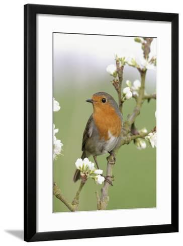 Robin on Plum Blossom--Framed Art Print