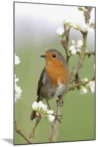 Robin on Plum Blossom--Mounted Photographic Print