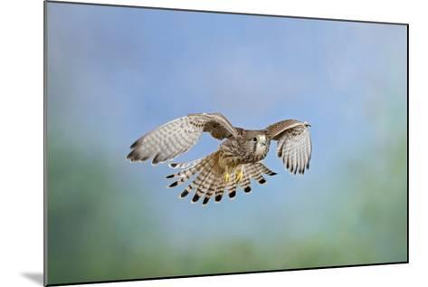 Common Kestrel in Flight--Mounted Photographic Print