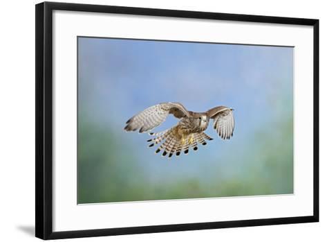 Common Kestrel in Flight--Framed Art Print