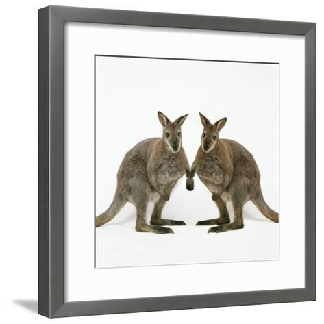 Wallaby X2 Holding Hands-Andy and Clare Teare-Framed Art Print