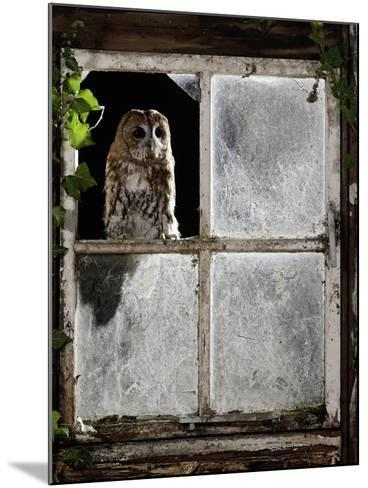 Tawny Owl Looking Through Shed Window--Mounted Photographic Print