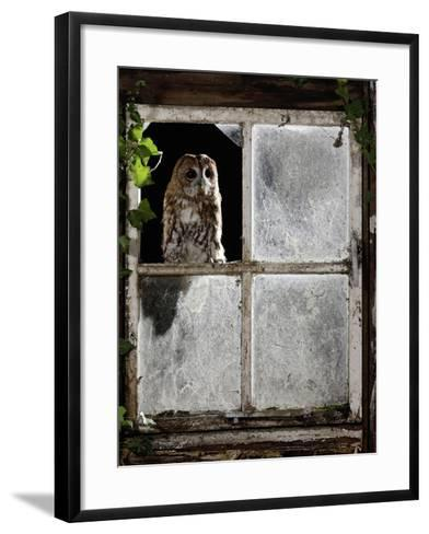 Tawny Owl Looking Through Shed Window--Framed Art Print