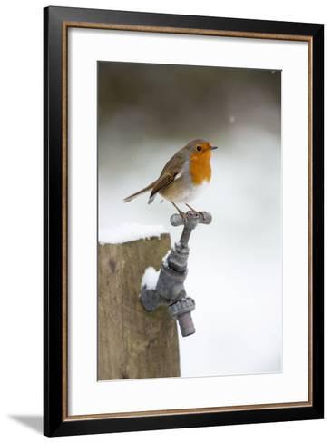 Robin in Snow on Garden Tap--Framed Art Print