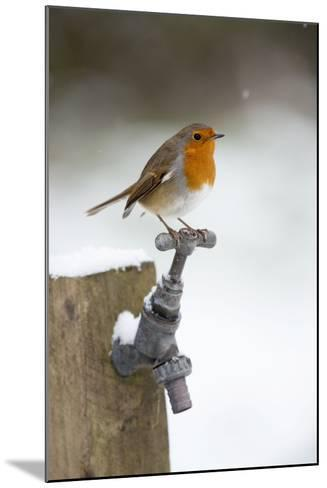 Robin in Snow on Garden Tap--Mounted Photographic Print