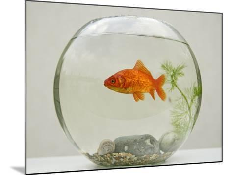 Goldfish in Goldfish Bowl with Weed--Mounted Photographic Print