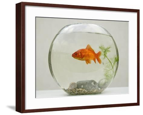 Goldfish in Goldfish Bowl with Weed--Framed Art Print