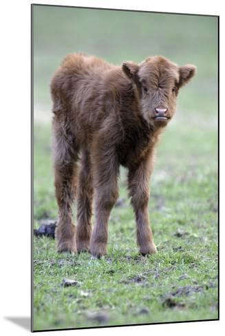 Highland Calf in Meadow, Looking Inquisitive--Mounted Photographic Print