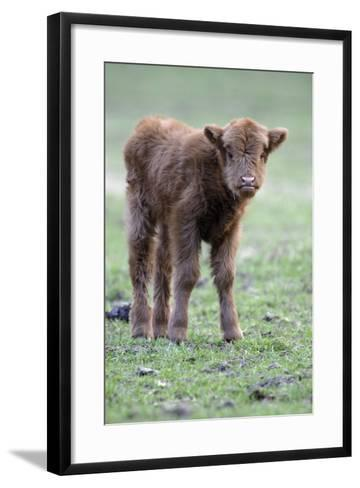 Highland Calf in Meadow, Looking Inquisitive--Framed Art Print