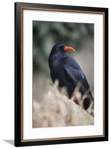 Chough--Framed Art Print