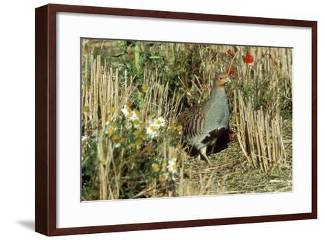 Grey Partridge Male in Stubble with Poppies and Daisies--Framed Art Print