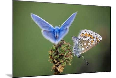 Common Blue Butterfly Male and Female--Mounted Photographic Print