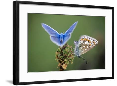 Common Blue Butterfly Male and Female--Framed Art Print