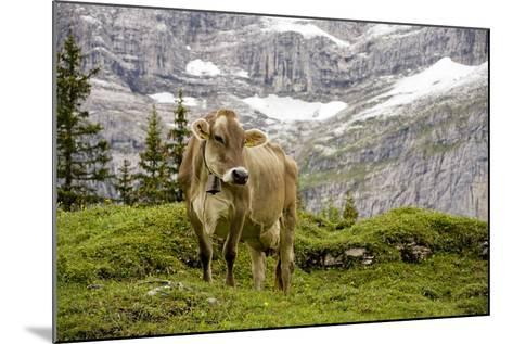 Cattle Grazing High in the Swiss Alps Near Wengen--Mounted Photographic Print