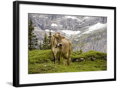 Cattle Grazing High in the Swiss Alps Near Wengen--Framed Art Print