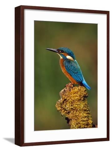 Kingfisher Perched on Moss Covered Tree Stump--Framed Art Print