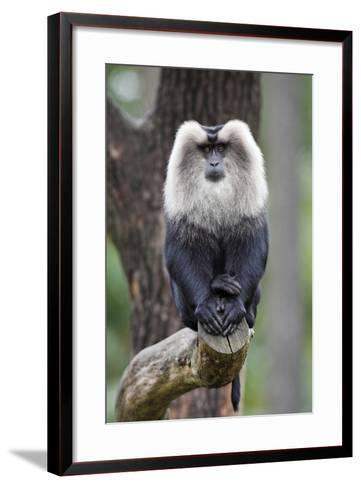 Liontail Macaque Male Sitting on Branch--Framed Art Print