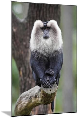 Liontail Macaque Male Sitting on Branch--Mounted Photographic Print