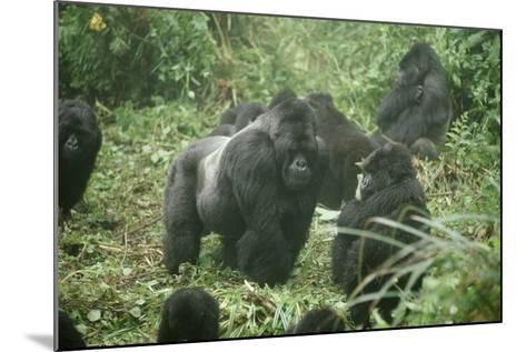 Mountain Gorilla Male Silverback-Adrian Warren-Mounted Photographic Print