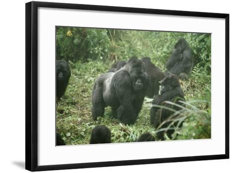 Mountain Gorilla Male Silverback-Adrian Warren-Framed Art Print