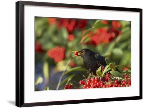 Blackbird Feeding on Autumn Berries--Framed Art Print