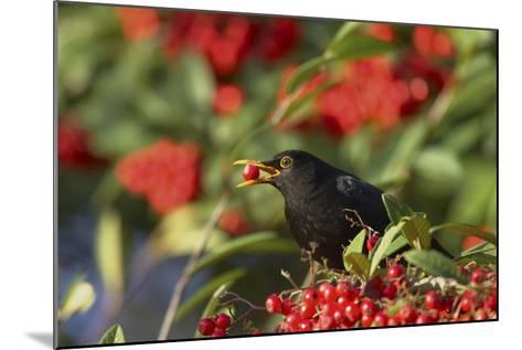 Blackbird Feeding on Autumn Berries--Mounted Photographic Print