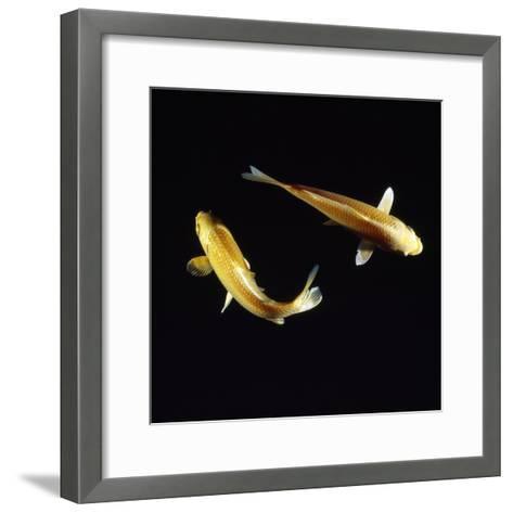 Koi Carp--Framed Art Print