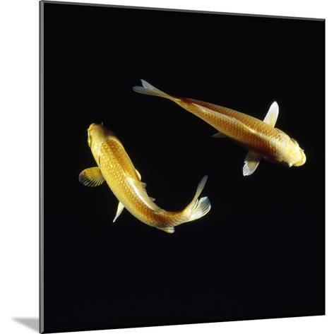 Koi Carp--Mounted Photographic Print