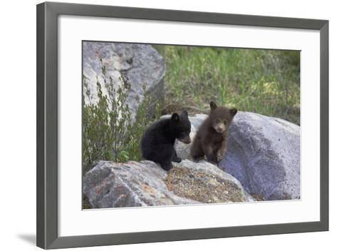 Black Bear Two Cubs Playing on Rocks--Framed Art Print