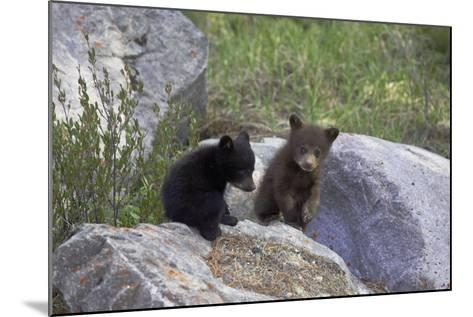 Black Bear Two Cubs Playing on Rocks--Mounted Photographic Print