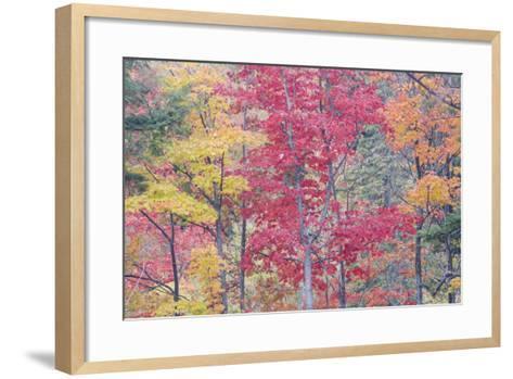 Autumn Colour Maple Woodlands--Framed Art Print