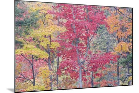 Autumn Colour Maple Woodlands--Mounted Photographic Print