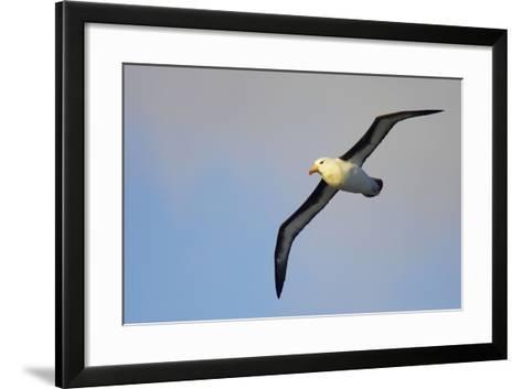 Black-Browed Albatross in Flight--Framed Art Print