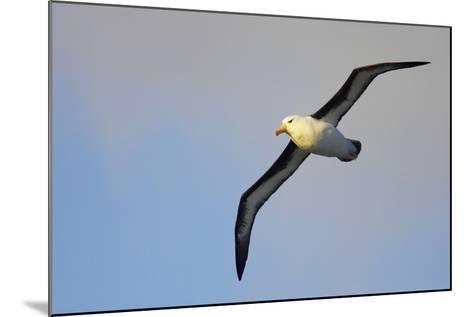 Black-Browed Albatross in Flight--Mounted Photographic Print