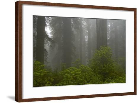 Coastal Redwood Forest in Fog--Framed Art Print