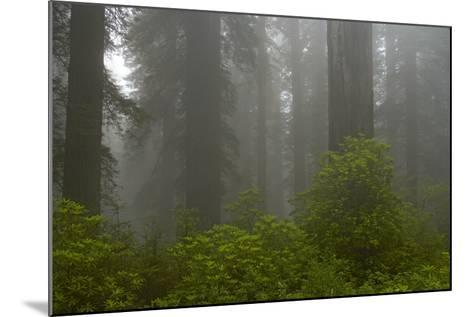 Coastal Redwood Forest in Fog--Mounted Photographic Print