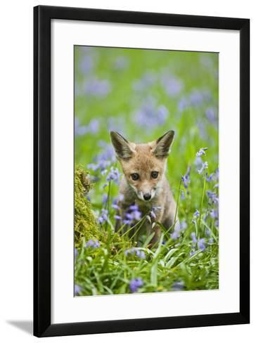 Red Fox Cub in Bluebell Woodland--Framed Art Print