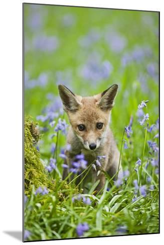 Red Fox Cub in Bluebell Woodland--Mounted Photographic Print