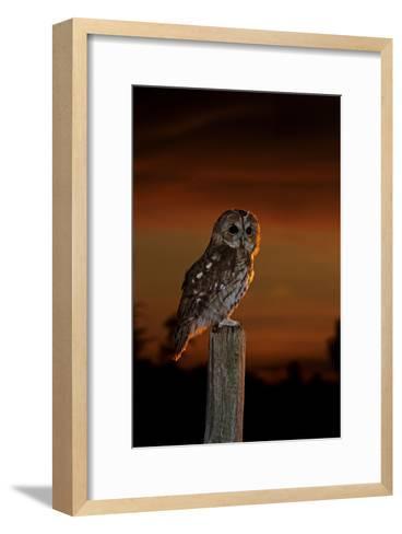 Tawny Owl on Post at Sunset--Framed Art Print